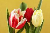 Beautiful tulips on yellow background