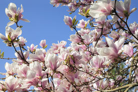 picture of saucer magnolia  - Deciduous Magnolia Tree with Saucer Tulip Shaped Flowers in Full Bloom During Spring Against Clear Blue Sky - JPG