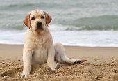 Labrador Puppy At The Sea Portrait Close