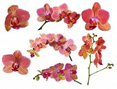 set of bright orchid flowers with pink strips isolated on white background