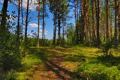 path in summer green pine forest