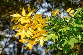 stock photo of ash-tree  - Yellow and green Ash tree leaves under a strong sun ray at the beginning of autumn - JPG
