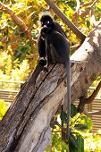 Dusky Leaf Monkeys - Semnopithecus Obscurus - In A Morton Bay Fig Tree