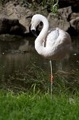 Chilean Flamingo In A Small Pond Which Stands On One Foot