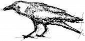 Sketch Vector Illustration Of Crow