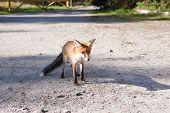 fox at road in natural habitat
