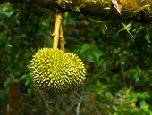 durian in the orchard