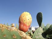 Fruit prickly pear cactus Indian