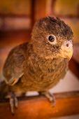 Madagascar parrot