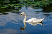 Graceful White Swan Swimming On Water