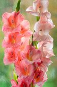 stock photo of gladiolus  - Bouquet of beautiful pink gladiolus on glass background - JPG