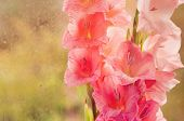 picture of gladiolus  - Beautiful pink gladiolus on glass background - JPG
