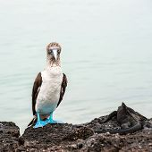 Blue-footed Boobie And Marine Iguana. Galapagos, Ecuador