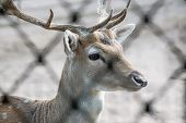 Fallow Deer With Horns