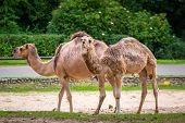 Camels in the zoo