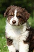 Portrait Of Amazing Australian Shepherd Puppy