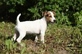 Amazing Jack Russell Terrier Puppy In The Garden
