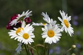 A bouquet of oxeye daisy, Leucanthemum vulgare.