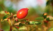 Twig with one red rosehip