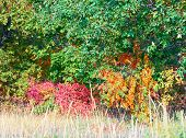 Red bush and orange rowan tree among green trees. Horizontal.
