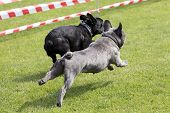 Two French Bulldogs Running On A Lawn
