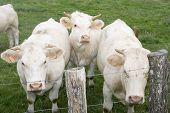 pic of charolais  - Three white Charolais cows behind barbed white at a fence - JPG