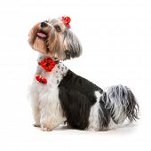 Lovely male of the Yorkshire Terrier on white
