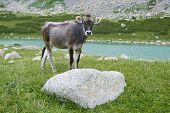 Bull-calfe On Pasture