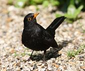 pic of cheeky  - Close up of a cheeky male Blackbird