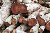 Woodpile Of Cut Lumber For Forestry Industry