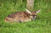 Baby Fallow Deer