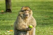 stock photo of zoo  - Barbary Macaque eating an apple in open field at monkey world zoo in Trentham zoo Stoke on Trent Staffordshire England - JPG