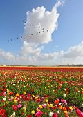 Huge fields of peony garden ranunculus grow in the southern country. Spring flowering