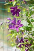 Clematis flowers in a garden