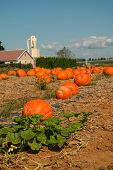 Pumpkin Field On Amish Farm