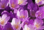 Autumn Crocus Or Meadow Saffron Or Naked Lady