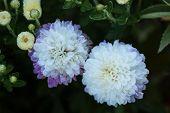 White and Purple Dewy Mum's