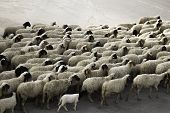 Sheep Marching