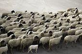 Sheep Marching