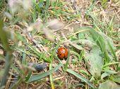 ladybird in the wild