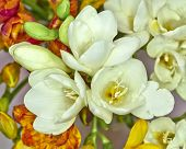 white freesia flowers closeup