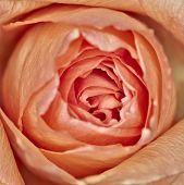 pink rose flower closeup