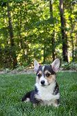 Corgi puppy in lawn