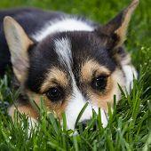 Cute Corgie Pup