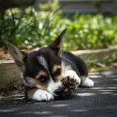 Corgi Puppy In Shade