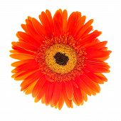 Red Gerbera Flower Head Isolated On White