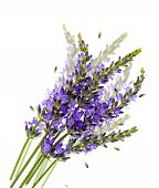 Fresh Lavender Flowers Over White With Blurred Effect