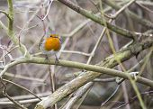 stock photo of red robin  - Robin Red Breast spotted in woodland in London UK - JPG