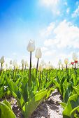 Close view of white tulips during beautiful day