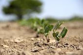 Growing Crop
